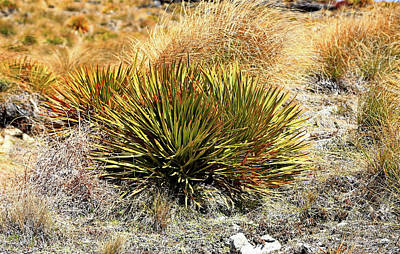 Photograph - Spiky Speargrass by Nareeta Martin
