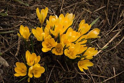 Monochrome Landscapes - Spilled Gold - Bright Yellow Crocus Harbingers of Spring by Georgia Mizuleva