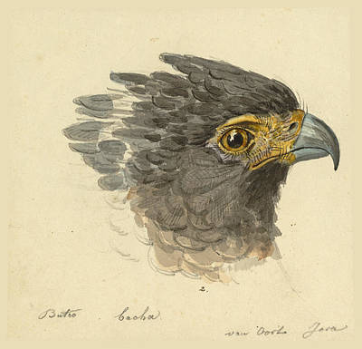 Drawing - Spilornis Cheela by Pieter van Oort