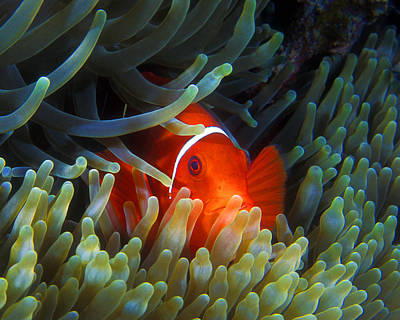 Photograph - Spinecheek Anemonefish, Great Barrier Reef by Pauline Walsh Jacobson