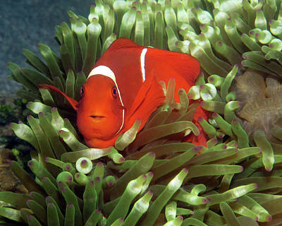 Photograph - Spinecheek Anemonefish, Indonesia 2 by Pauline Walsh Jacobson