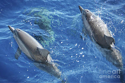 Whales Photograph - Spinner Dolphin Pair by Sean James G