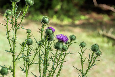 Photograph - Spiny Bull Thistle Wildflowers by Kathy Clark