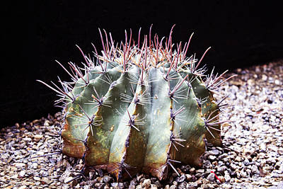 Photograph - Spiny Cactus by Edward Hawkins II