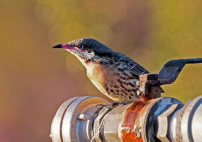 Photograph - Spiny-cheeked Honeyeater by Tony Brown