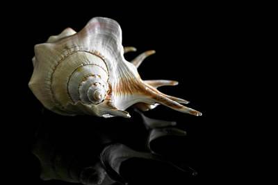 Photograph - Spiny Conch by Cyndy Doty