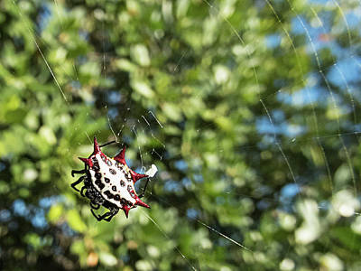 Photograph - Spiny Orb Weaver Spider by Bob Slitzan