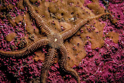 Photograph - Spiny Starfish by Gary Shepard