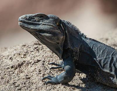 Photograph - Spiny-tailed Iguana-img_513117 by Rosemary Woods-Desert Rose Images