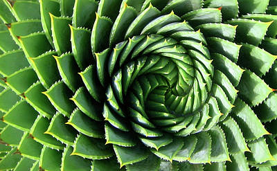 Photograph - Spiral Plant by Marcus Best