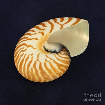 Photograph - Spiral Spell Of The Nautilus by Barbie Corbett-Newmin