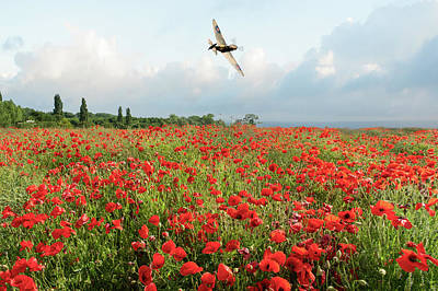 Photograph - Spitfire Over Poppy Field by Gary Eason