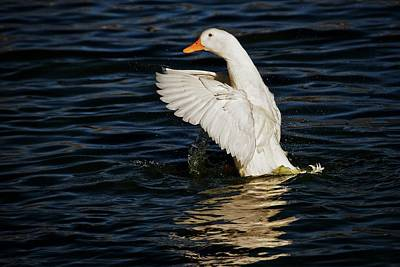 Photograph - Splash And Stretch, American Pekin Duck by Flying Z Photography by Zayne Diamond