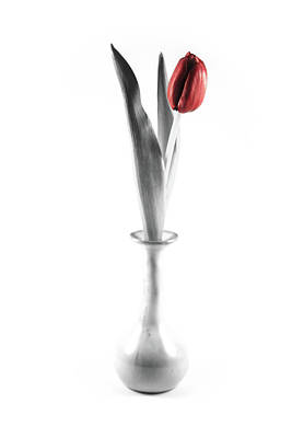 White Tulip Splash Of Color Photograph - Splash Of Red by Greg Thiemeyer