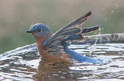Photograph - Splashing Blue Bird by Kevin McCarthy
