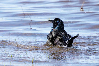 Photograph - Splashing Grackle by Alyce Taylor