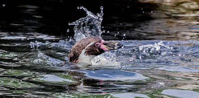 Photograph - Splashing Humboldt Penguin by Scott Lyons