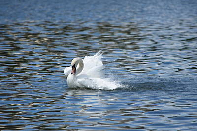 Photograph - Splashing Swan by Jo Jurkiewicz