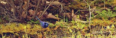Photograph - Splendid Fairy Wren by Cassandra Buckley