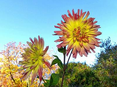 Photograph - Splendid October Dahlias by Will Borden