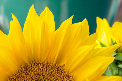 Photograph - Splendid Sunflower by Margaret Pitcher