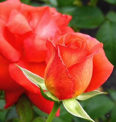 Photograph - Splendid Tropicana Roses by Will Borden