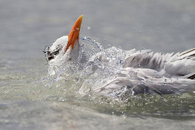 Splish Splash A Tern Was Taking A Bath Art Print