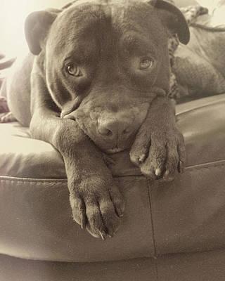 Photograph - Spoiled Pittie by Jamart Photography