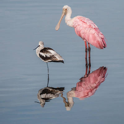 Photograph - Spoonbill, American Avocet, And Reflection by Dorothy Cunningham