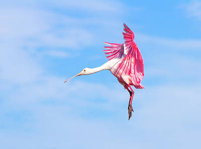 Spoonbill Photograph - Spoonbill Ballet by Mark Andrew Thomas