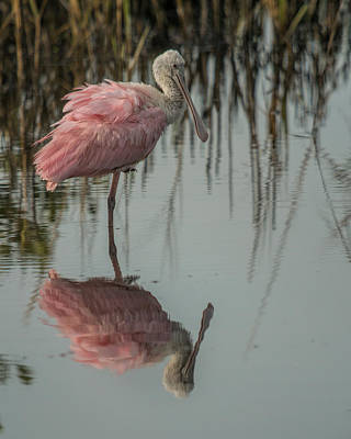 Photograph - Spoonbill by Dorothy Cunningham