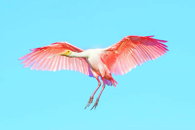 Photograph - Spoonbill In Flight by Mark Andrew Thomas