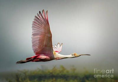 Photograph - Spoonbill In Foggy Bayou by Robert Frederick