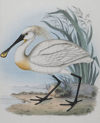 Herons Drawing - Spoonbill by John Gould