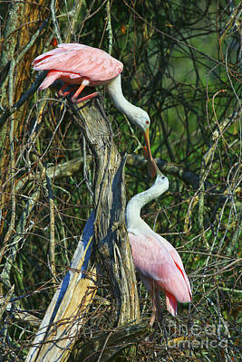 Photograph - Spoonbill Kiss by Deborah Benoit