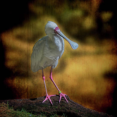 Photograph - Spoonbill by Lewis Mann