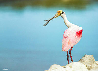 Photograph - Spoonbill Nesting by Fran Gallogly