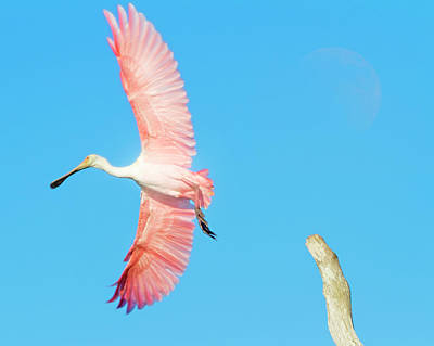 Photograph - Spoonbill Skies by Mark Andrew Thomas