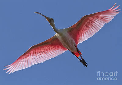 Photograph - Spoonbill Soaring by David Cutts