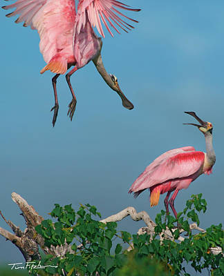 Spoonbills Greeting Art Print by Tim Fitzharris