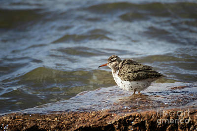 Photograph - Sporrted Sandpiper by Richard Smith