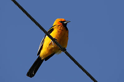 Photograph - Spot Breasted Oriole by Dart and Suze Humeston