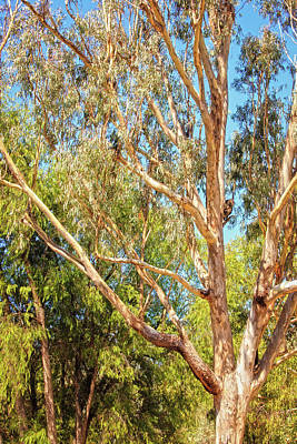 Print featuring the photograph Spot The Koala, Yanchep National Park by Dave Catley