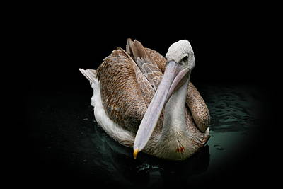 Photograph - Spotlight On A Pink-backed Pelican by Debi Dalio