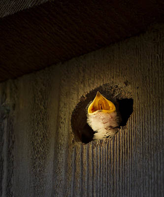 Photograph - Spotlight On Baby Swallow by Jean Noren