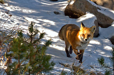 Photograph - Spotlight On The Fox by Adam Jewell