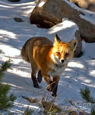 Photograph - Spotlight On The Fox Closeup by Adam Jewell