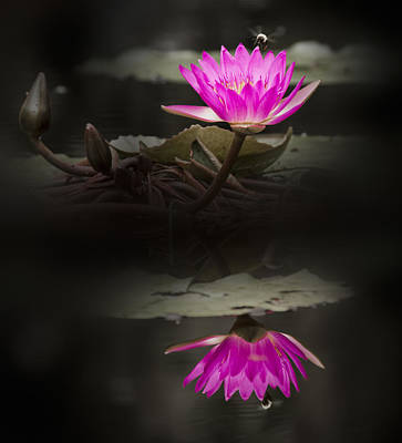 Photograph - Spotlight Reflection - Water Lily by Penny Lisowski