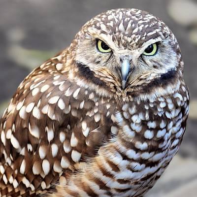 Photograph - Spots - Burrowing Owl by KJ Swan