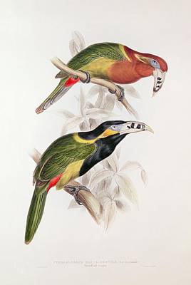 Rare Painting - Spotted Bill Aracari by Edward Lear